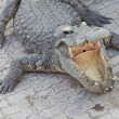Stock Photo: Crocodile and jaw