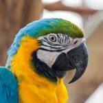 "Blue and Gold macaw, Scientific name ""Ara ararauna"" parrot bird — Stock Photo #24715947"