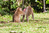 Monkey search for louse on another monkey — Stock Photo