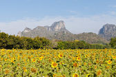 Sunflower field with mountain and blue sky — Stock Photo