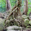 Tropical tree root in the forest - Stock Photo