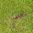 Stock Photo: New divot on golf fairway