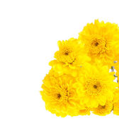 Yellow chrysanthemum isolated on white background — Stok fotoğraf