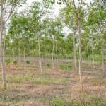 Rubber Tree — Stock Photo