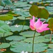 Pink lotus blossoms or water lily flowers blooming on pond — Stock Photo #28899077