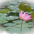 Pink lotus blossoms or water lily flowers blooming on pond — Stock Photo #28899083