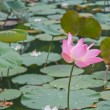 Pink lotus blossoms or water lily flowers blooming on pond — Stock Photo #28899109