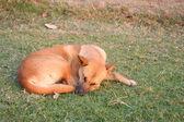 Thai dog sleep in grass yard — Stock Photo