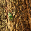Lanternfly on a tree — Stock Photo
