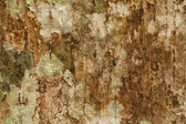 Trama di corteccia dell'albero — Foto Stock