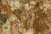 Textura da casca de árvore — Foto Stock