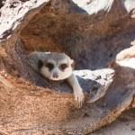 Meerkat — Stock Photo #38443529