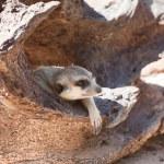 Meerkat — Stock Photo #38443673