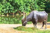 Búfalo de agua comiendo hierba — Foto de Stock