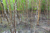 Mangrove forest in Thailand — Stock Photo