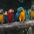 Colorful Macaw — Stock Photo #38542077