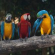 Colorful Macaw — Stock Photo #38542119