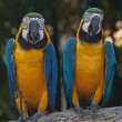 Colorful Macaw — Stock Photo #38542133