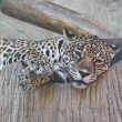 Stock Photo: Jaguar lay down in zoon