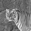 Stock Photo: Close up SiberiTiger in zoo in black and white