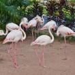 Stock Photo: Flamingo in zoo