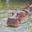 Hippopotamus in a zoo — Stock Photo