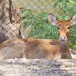 Stock Photo: Eld's Deer