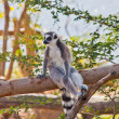 Ring-tailed lemur — Stock Photo #38549015