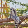 Stock Photo: Ring-tailed lemur