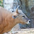 Stock Photo: Banteng or Red Bull