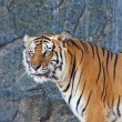 Close up Siberian Tiger in a zoo — Stock Photo #38549771