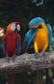 Kleurrijke ara — Stockfoto