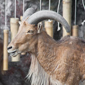 Close up barbary sheep — Foto de Stock