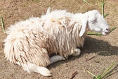 Sleepy sheep in a farm — Stock Photo