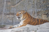 Siberian Tiger resting in a zoo — Stock Photo