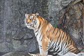 Tigre siberiano num zoológico — Fotografia Stock
