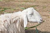Mouton endormi dans une ferme — Photo
