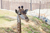 Portrait de girafe curieuse — Photo