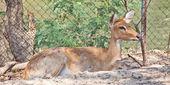 Eld's Deer — Stockfoto