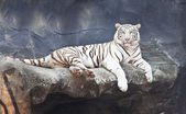 White tiger on a rock in zoo — Stock Photo