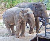 Elefante en un zoológico — Foto de Stock