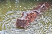 Hippopotamus in a zoo — Stock Photo