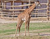Portrait of a curious giraffe — Stock Photo