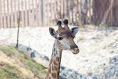 Porträtt av en nyfiken giraff — Stockfoto
