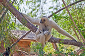 Precious specimen of Gibbon of golden cheeks with baby — Stockfoto