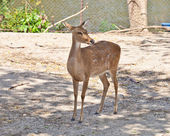 Eld's Deer — Stock Photo