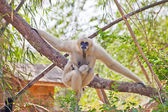 Precious specimen of Gibbon of golden cheeks with baby — Stock Photo