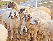 Sheep in a farm — Stock Photo