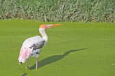 Painted Stork in a green swamp — Stock Photo