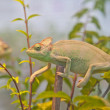 Chameleon on branch — Stock Photo #39638149